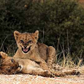 Lion cubs Playing by Adéle van Schalkwyk - Animals Lions, Tigers & Big Cats ( wild, lion, cat, nature, wildlife, cubs, baby, young )
