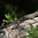 (Male) Great Basin Fence Lizard