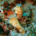 Leopard Nudibranch