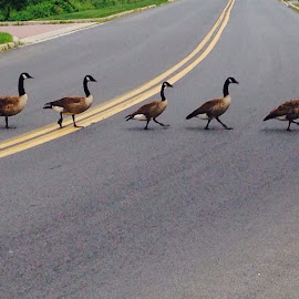 Disciplined goose... by Vishal Bhatnagar - City,  Street & Park  Street Scenes