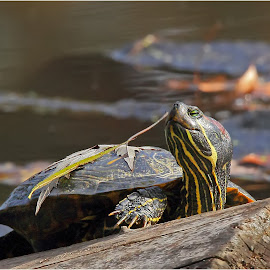 Autumn Turtle by Dennis Ba - Animals Reptiles ( silver lake, painted turtle )