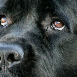 A Dog's Eyes by Sheen Deis - Animals - Dogs Portraits ( dogs, close up of dogs, eyes, emotion,  )
