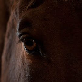 HIs eyes don'tl ie by Jamie Cournoyer - Animals Horses ( horse, closeup, eye )
