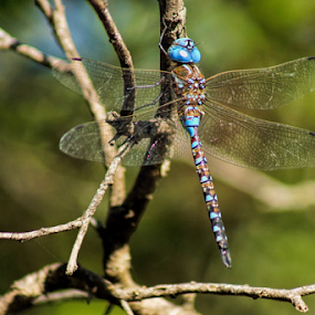 Dragonfly in blue color by Cristobal Garciaferro Rubio - Animals Insects & Spiders