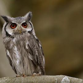 owl by Andrew Percival - Animals Birds ( bird, nature, color, composition, owl, wildlife, photography )