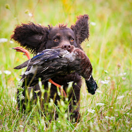 Brownie Having Fun! by Paul Brown Jr. - Animals - Dogs Running (  )