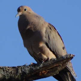 Dove on high branch by Theresa Campbell - Novices Only Wildlife