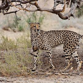 Cheetah by Charel Schreuder - Animals Lions, Tigers & Big Cats ( cheetah, photo sales, south africa, nossob, googlephotographer, kgalagadi transfrontier park, kalahari, charel schreuder, jagluiperd )