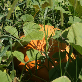 Jack-o-lantern in Waiting by Rick Morris - Nature Up Close Gardens & Produce ( pumpkin, fall, harvest, jack-o-lantern, garden )