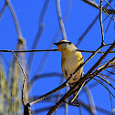 Black-headed Pardalote