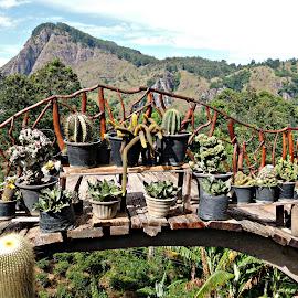 Cactus Garden with a View by Tamsin Carlisle - Nature Up Close Gardens & Produce ( hills, spines, succulent, mountain, cacti, plants, display, sri lanka, bridge, pots, garden, cactus,  )