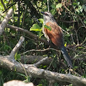 White-browed Coucal