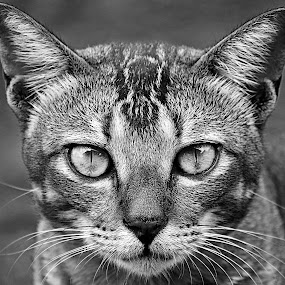 Kucing Liar BW3 by AbngFaisal Ami - Black & White Animals (  )