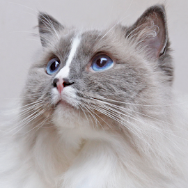 Attached by Mia Ikonen - Animals - Cats Portraits ( ragdoll, lovable, finland, kind, devoted )