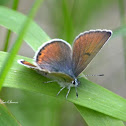 Lilac-bordered Copper