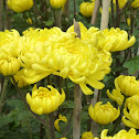 Chrysanthemum (yellow) 王菊花