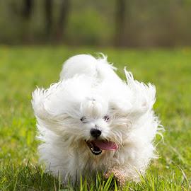Playful Ben by Mateja Lukežič - Animals - Dogs Running ( #runningdog, #dog #dogphotography, #animal #animalphotography #cotondetulear )