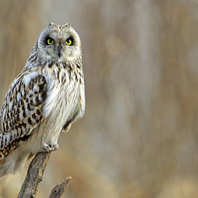 Short-eared Owl by Young Sung Bae - Animals Birds