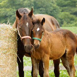 Love by Helen Bagley - Animals Horses ( mare, pasture, nature, horses, colt, hay, baby )
