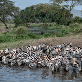 Stripes by Andy Chow - Animals Other Mammals ( safari, zebra, africa )