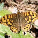 Speckled Wood (butterfly). Mariposa de los muros