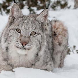 Lynx by Rita Birkeland - Animals Other ( big cat, predator, rovdyr, lynx, gaupe langedrag, gaupe )