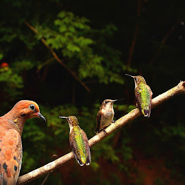 Friends by Paul Mays - Animals Birds ( bird, nature, humming, kentucky, dove )