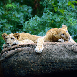 Double Trouble by Lisa Silva - Animals Lions, Tigers & Big Cats ( cats, wildllife, lion, african, laying, cubs, feline, exotic )
