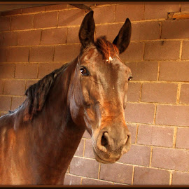 Proud by Romano Volker - Animals Horses