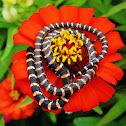 Paradise Flying Tree Snake (immature)