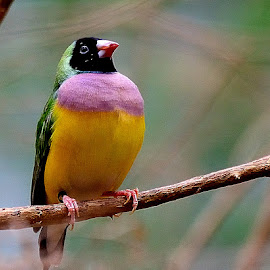 by RJ Photographics - Novices Only Wildlife ( gouldian finch )