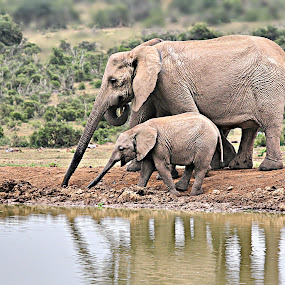 Together by Pieter J de Villiers - Animals Other Mammals ( mammals, animals, addo elephant national park, elephant cow, elephant, south africa, elephant baby, waterhole )