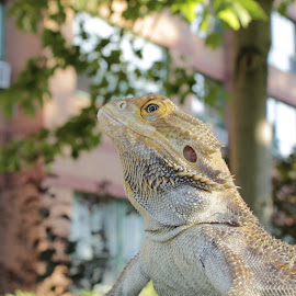 Making His Way in the City by Frank Vomit - Animals Reptiles ( reptiles, dragon, bierdy, lizards, bierded dragon )