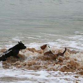 by António Sousa - Animals - Dogs Playing ( water, kenzo, white, sea, thor, black )