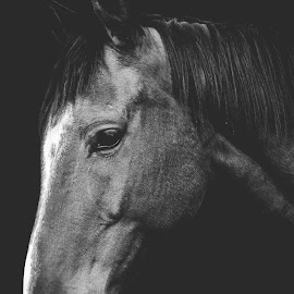 Horse portrait by Dragos Birtoiu - Animals Horses ( horse portrait, horses, horse, horse black and white, horse photography )