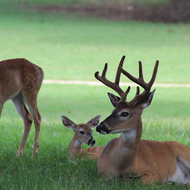 Deer Family by Amara Dempsey - Novices Only Wildlife ( nature, nature up close, wildlife, deer,  )
