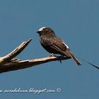 Yetapá negro (Long-tailed tyrant)