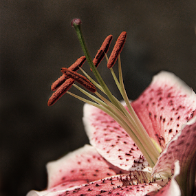 Lily by Bonnie Rovere - Flowers Single Flower ( lily, pink,  )