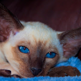 Blue Eyes Beauty by Anne Christie - Animals - Cats Kittens ( kitten, cat, blue, siamese kitten, blue eyes, siamese cat, siamese, seal point, baby, young, animal )