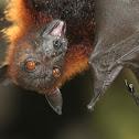 Western Naked-backed Fruit Bat