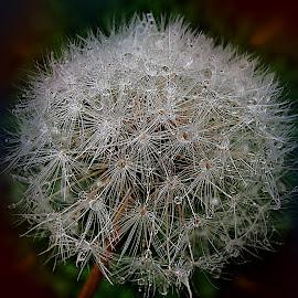 Dandelion's DNA by Marija Jilek - Nature Up Close Other plants ( dandelion, nature, dna, relations, molecules, plnats, seeds, net )