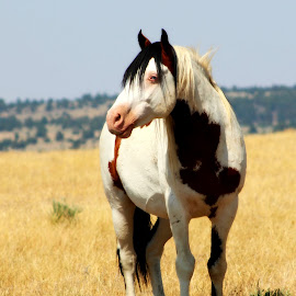 Shaman by Kathy Tellechea - Animals Horses ( mustang, wild, pinto, paint, south steens, steens, medicine hat, wild horses,  )