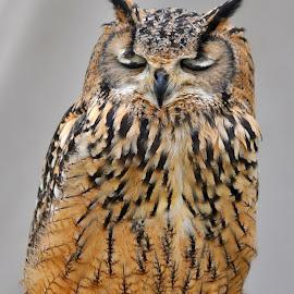 Indian Eagle Owl by Marco Bertamé - Animals Birds ( bird, owl, portrait,  )