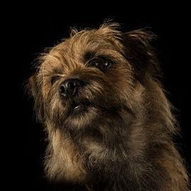 Herbie by Gavin Hewitt - Animals - Dogs Portraits ( ewok, low key, border terrier, dog, portrait,  )