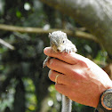 Eastern Gray Squirrel (baby)
