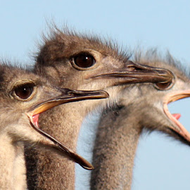 There's always one by Maresa Sinclair - Animals Birds ( ostriches face close-up, birds ostrich )