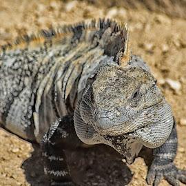 Godzilla by Jeff Coxen - Animals Reptiles ( mexico, iguana, reptile, nikon, jeffcoxen, photography )