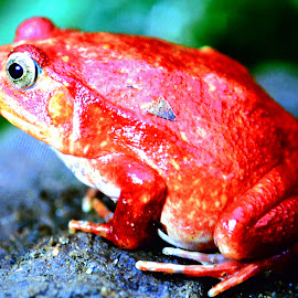 RED by Wentworth Howson - Animals Amphibians ( water, zoo, jungle, frog, red frog, frogs )