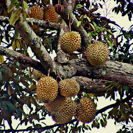 Durian fruit... by Amril Abdullah - Nature Up Close Gardens & Produce (  )