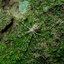 Long-spinnered Bark Spider